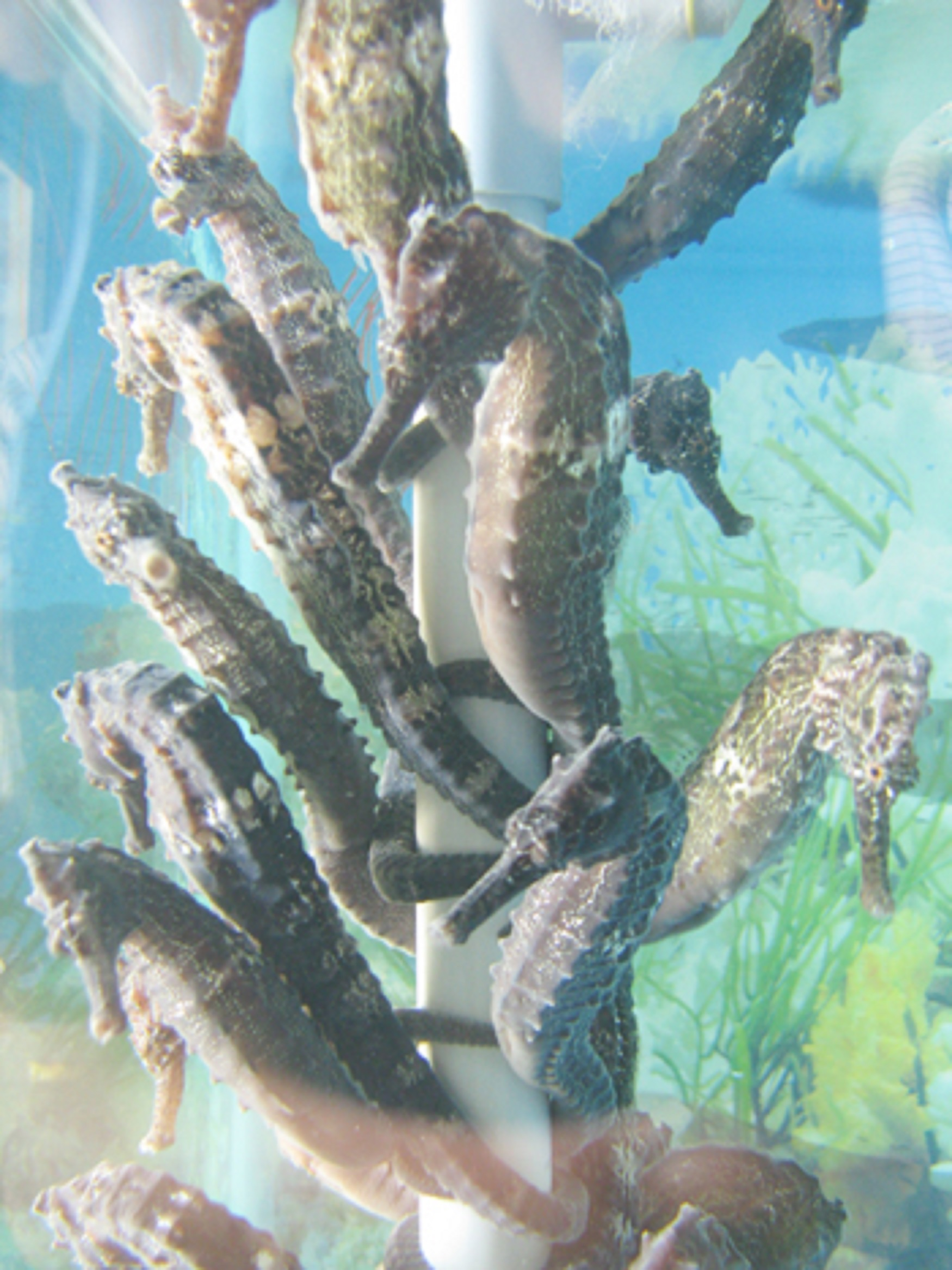 Sea-horses reproduced in local lab